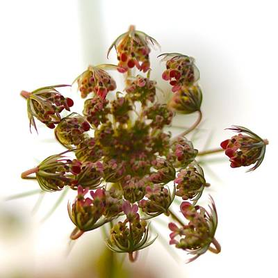 Floral Photograph - Queen Anne's Lace by Tracy Male