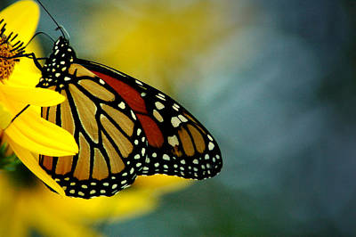 Photograph - Queen Monarch by David Weeks
