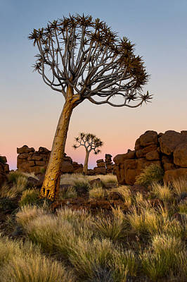 Quiver Tree Aloe Dichotoma, Quiver Tree Print by Panoramic Images