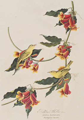 Warbler Drawing - Rathbone Warbler by John James Audubon