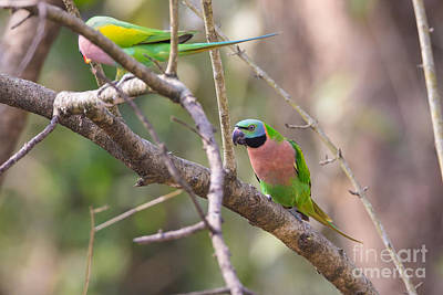 Parakeet Photograph - Red-breasted Parakeets, India by B. G. Thomson
