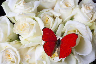 Red Butterfly On White Roses Print by Garry Gay