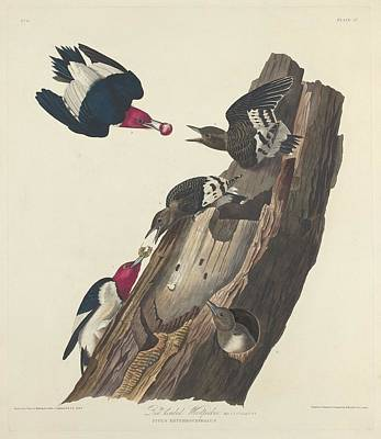 Woodpecker Drawing - Red-headed Woodpecker by John James Audubon