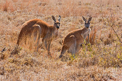 Kangaroo Photograph - Red Kangaroo by B.G. Thomson