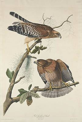Hawk Drawing - Red Shouldered Hawk by John James Audubon