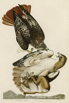 Hawk Drawing - Red Tailed Hawk by John James Audubon