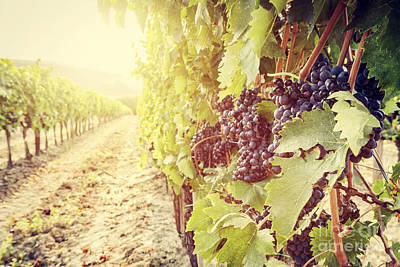 Ripe Wine Grapes On Vines In Tuscany Vineyard, Italy Print by Michal Bednarek