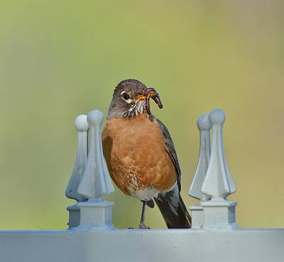 Bird And Worm Photograph - Robin With Worm I by Linda Brody