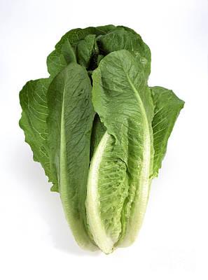 Lettuce Photograph - Romaine Lettuce Lactuca Sativa by Gerard Lacz