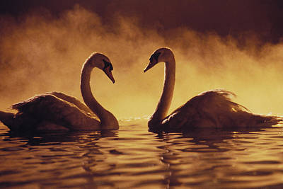 Twilight Views Photograph - Romantic African Swans by Brent Black - Printscapes