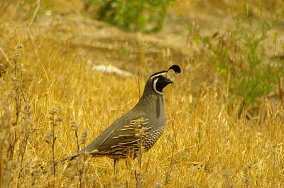 Rooster Photograph - Rooster Quail by Jeff Swan
