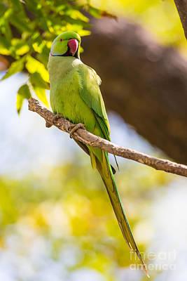 Parakeet Photograph - Rose-ringed Parakeet, India by B. G. Thomson