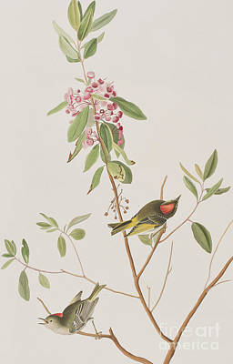 Wren Drawing - Ruby Crowned Wren by John James Audubon