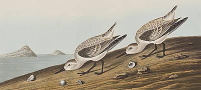 Plovers Painting - Ruddy Plover by John James Audubon