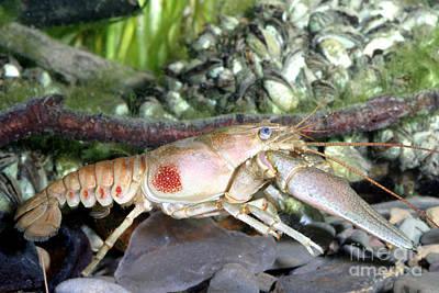 Crawdad Photograph - Rusty Crayfish Orconectes Rusticus by Ted Kinsman