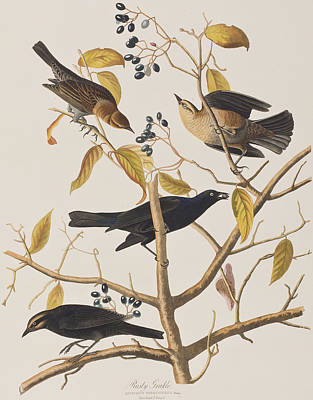 Berry Drawing - Rusty Grackle by John James Audubon