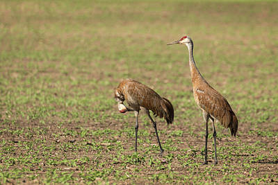 Photograph - Sandhill Cranes 2016-1 by Thomas Young