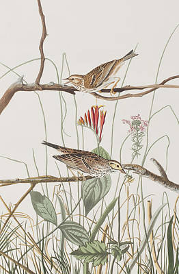 Finch Drawing - Savannah Finch by John James Audubon