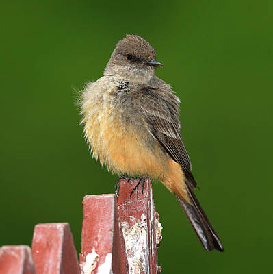 Say's Phoebe Original by John Absher