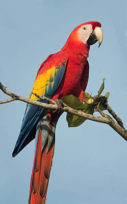Scarlet Macaw Ara Macao, Tarcoles Print by Panoramic Images