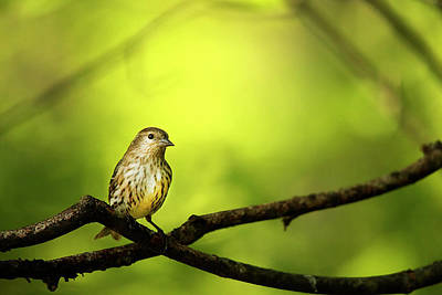 Siskin Photograph - Silence by Darren Fisher