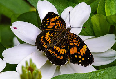 Silvery Checkerspot Butterfly On White Flower Print by Steve Samples
