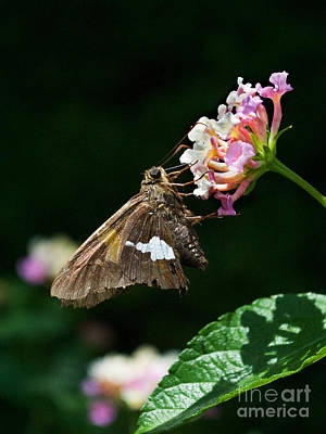 Flying Spider Photograph - Skipper by Skip Willits