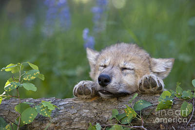 Wolf Photograph - Sleepy Wolf Cub by Jean-Louis Klein & Marie-Luce Hubert