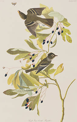 Berry Drawing - Small Green Crested Flycatcher by John James Audubon