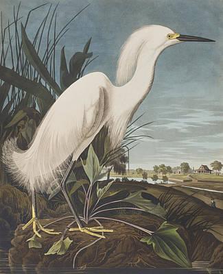 Heron Drawing - Snowy Heron  by John James Audubon