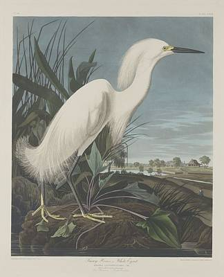 Egret Drawing - Snowy Heron Or White Egret by John James Audubon
