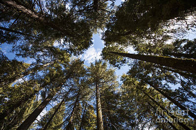 Soaring Sequoias Print by Timothy Johnson