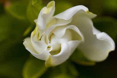 Soft Gardenia Print by Malisa Nicolau