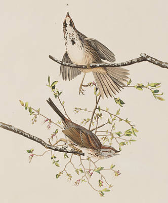 Sparrow Painting - Song Sparrow by John James Audubon