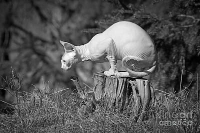 Sphynx Cat Sitting On A Stump In The Woods. Print by Allan Wallberg
