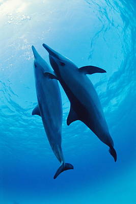 Spinner Dolphins Print by Alexis Rosenfeld