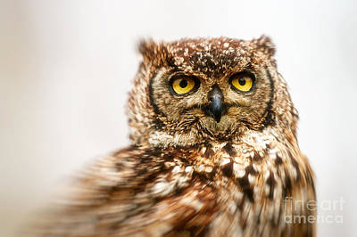 Spotted Eagle-owl  Print by Nick Biemans