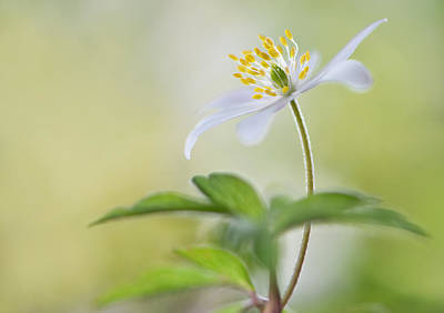 Anemone Photograph - Spring Light by Heidi Westum