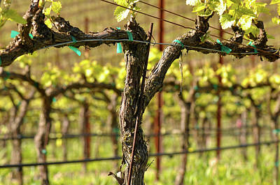 Vineyard Photograph - Spring Vineyard In Napa California by Brandon Bourdages