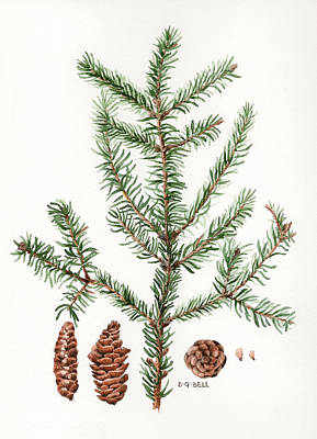Nature Study Painting - Spruce Twig by Betsy Gray Bell