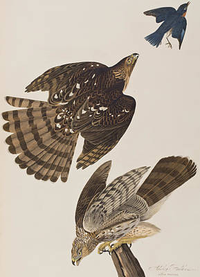 Falcon Drawing - Stanley Hawk by John James Audubon
