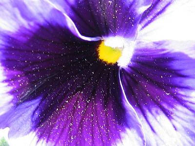 Sunburst Floral Still Life Photograph - Sunburst Pansy by Tracy Male