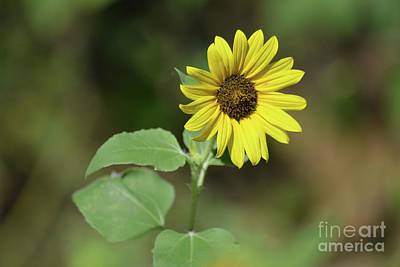 Sunflower Blooming  Print by Ruth Housley