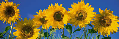 Sunflowers Print by Panoramic Images