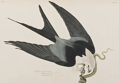 Snake Drawing - Swallow-tailed Hawk by John James Audubon