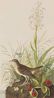 Berry Drawing - Tawny Thrush  by John James Audubon