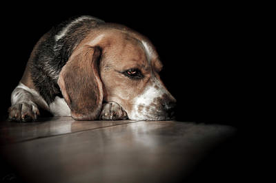 Beagle Photograph - The Day Dreamer by Paul Neville