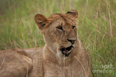 Lioness Photograph - The Lioness by Nichola Denny