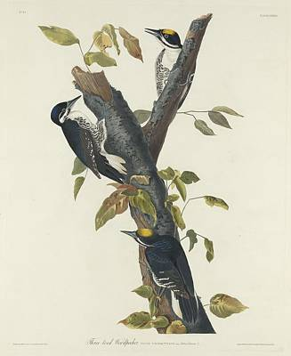 Woodpecker Drawing - Three-toed Woodpecker by John James Audubon