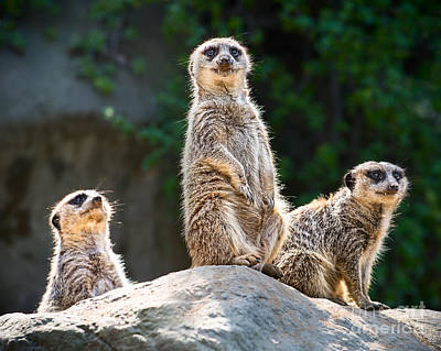 Meerkat  - Three's Company by Jamie Pham